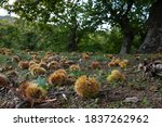 Autumn. Chestnut Forest In The...