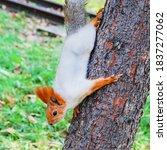 A Fluffy Red Squirrel Descends...