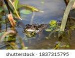 Glistening European Frog  Rana...
