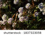 Sweet Alyssum Flower Heads With ...