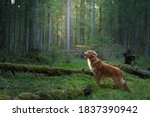 Dog In Forest. Red Nova Scotia...