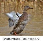 Female Mallard Duck Beating...
