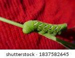 Tomato Hornworm Caterpillar...