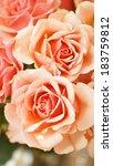 Fresh Peach Roses From A...
