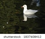 Seagull Swimming On Water To...