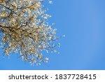 Branches Of Silver Poplar ...