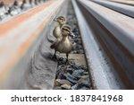 Two Cute Little Ducklings. One...
