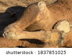 The Hooves Of A Dead Camel....