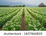 Potato Flowers Blooming In Field