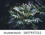 Leaves Of Ekebergia Capensis...