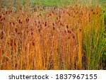 The Smallest Cattail Grows To A ...