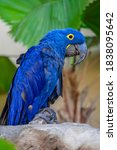 Hyacinth Macaw  In Usa  North...