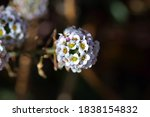 White Sweet Alyssum Flower Head ...