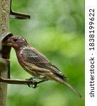 Male House Finch In Molt ...