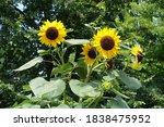 Yellow Flowers Of Common...