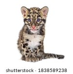 Clouded Leopard Cub  Two Months ...