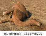 Dead Camel In The Steppe. Close ...