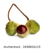 Horse Chestnuts In Pods...