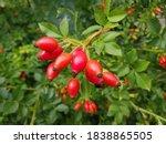 Briar Rose Rosehip  In German...