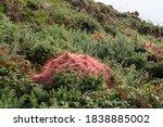 Red Dodder Ie Cuscuta Epithymum ...