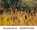 Cattails And Bulrushes At The...