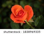 Fresh Orange Rose With Water...
