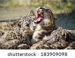 Lying Family Of Snow Leopard...