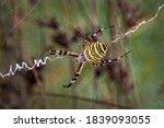 Wasp Spider   Argiope...