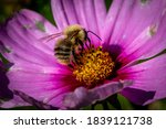 A Carder Bumblebee On A Flower  ...