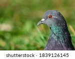 City Pigeon. Background Of The...
