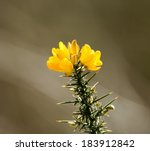 Yellow Gorse Flowers With Spik...