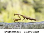 Praying Mantis Isolated On...
