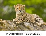 Young Cheetah Making Faces