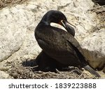A Cape Cormorant With Young...