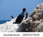 Cape Cormorant With Two Hungry...