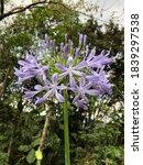 Purple Agapanto   Flower And...