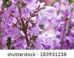 Violet Blossoming Heather....