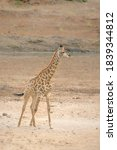 Giraffe Standing In Sandy...