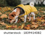 Jack Russell Terrier In A...