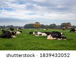 Dutch Cows Laying Down In...