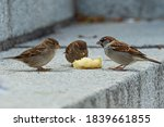 Group Of Sparrows Eating A Pear
