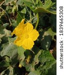 Thai Sponge Gourd Flower...