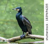 The Great Cormorant ...