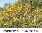 Acacia Or Wattle In Flower Nea...