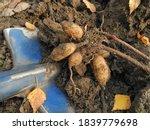Dahlia Tuber Dug Up From Soil...
