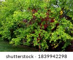 Most Of Us Know Mulberry As A...