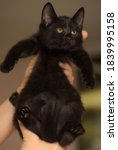 Little Black Cute Kitten In...