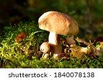 Group Of The White Mushroom  I...
