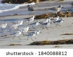 Wild Sanderlings Feeding On The ...