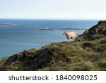 A Sheep Grazing In The...